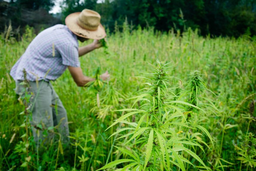 Britain, the weed export king