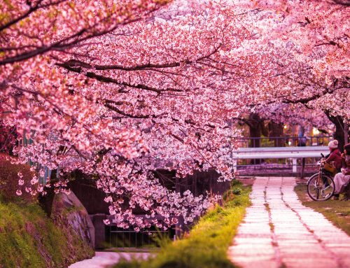 Kyoto: city of blossoms